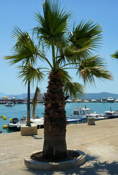 Palm tree on the promenade